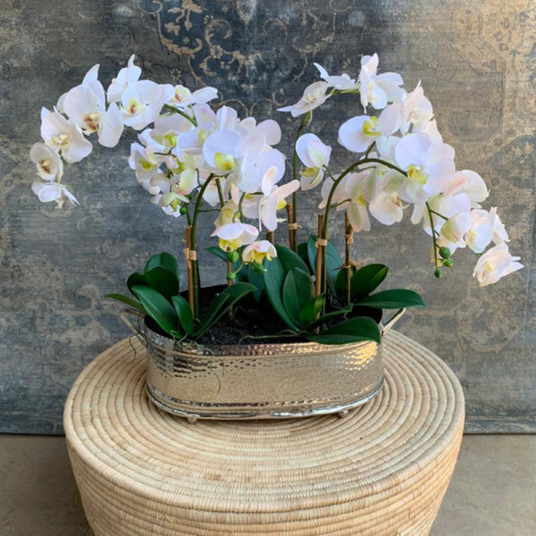 Cloud Orchid White - In Vase
